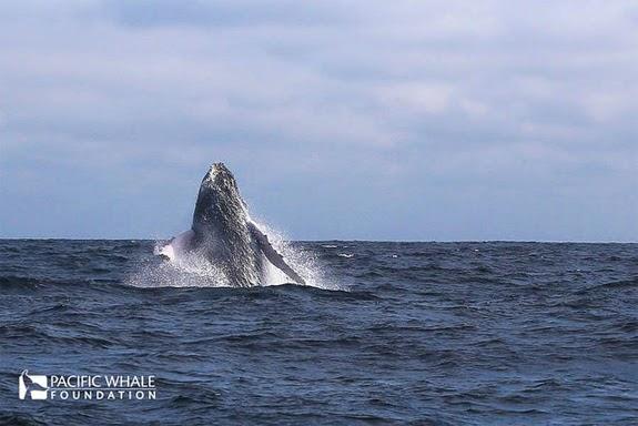 La Mar Salao Ballenas Jorobadas Ecuador