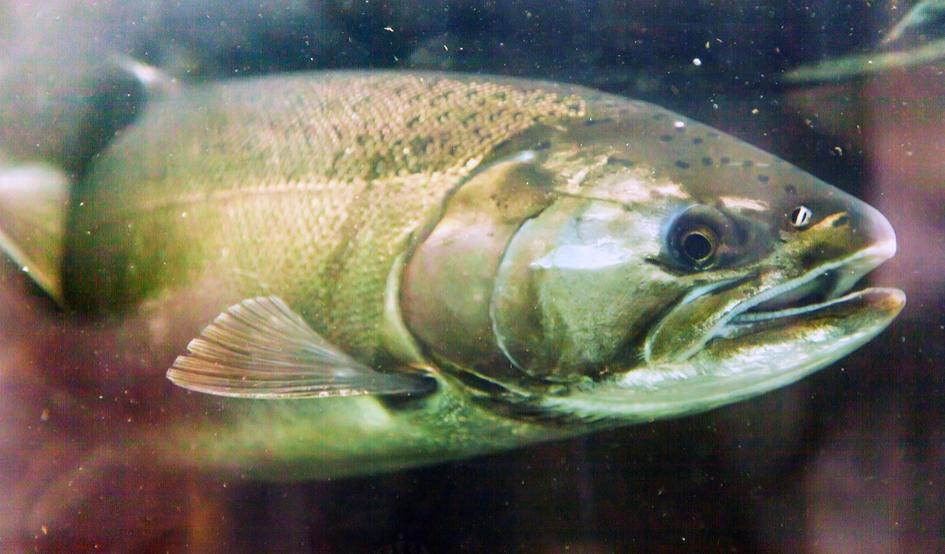 la mar salao salmon